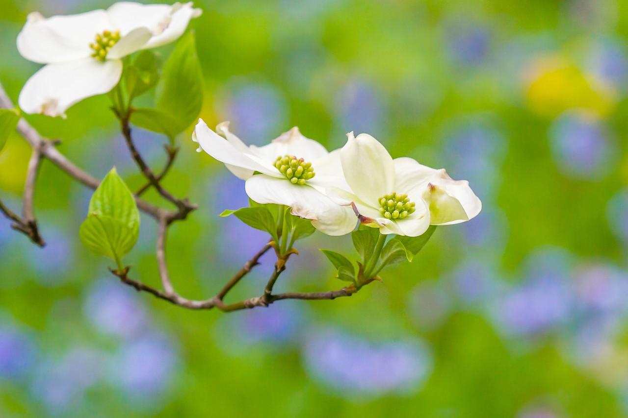 四照花,红白双争艳_图1-13
