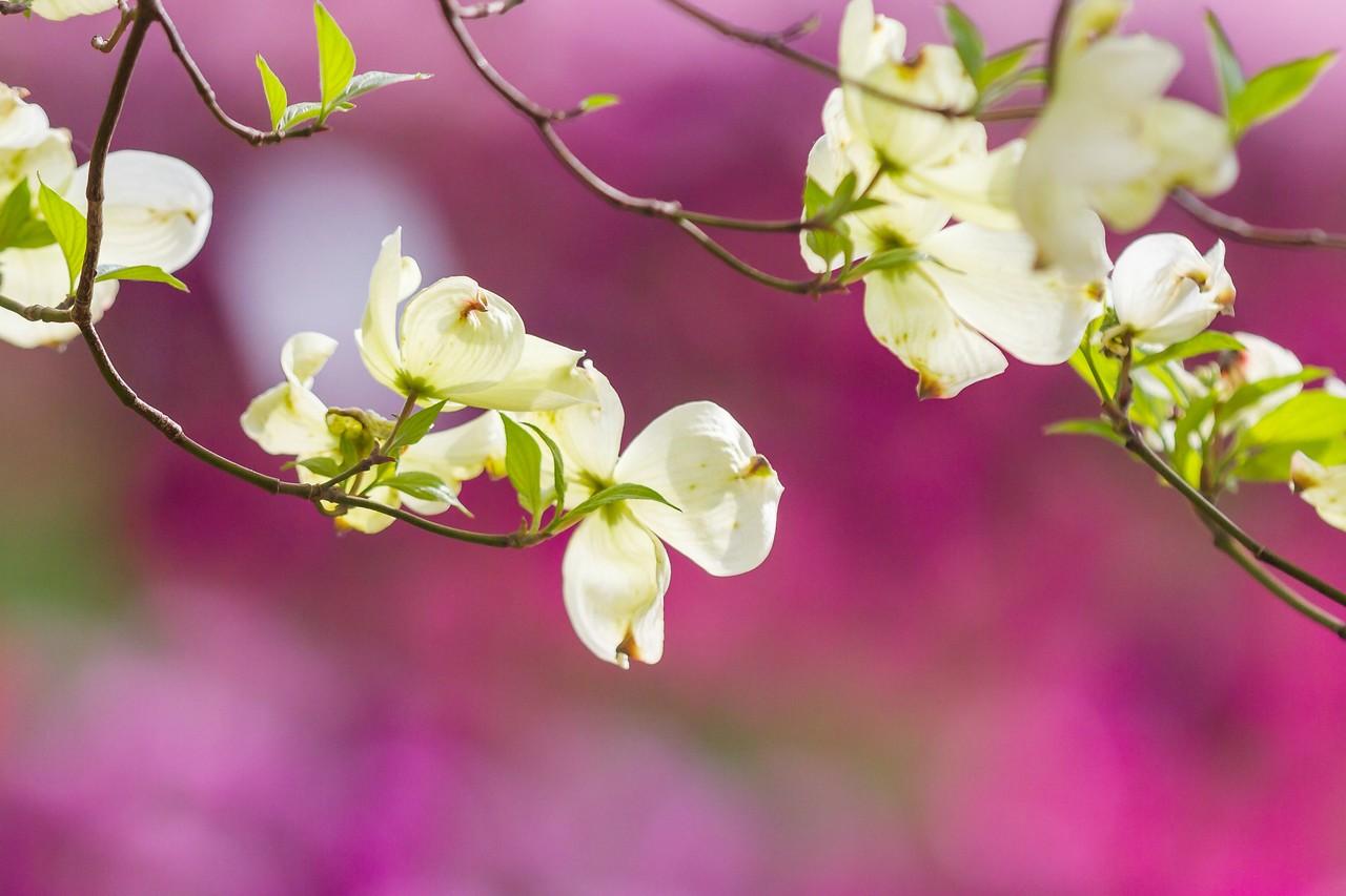 四照花,红白双争艳_图1-19