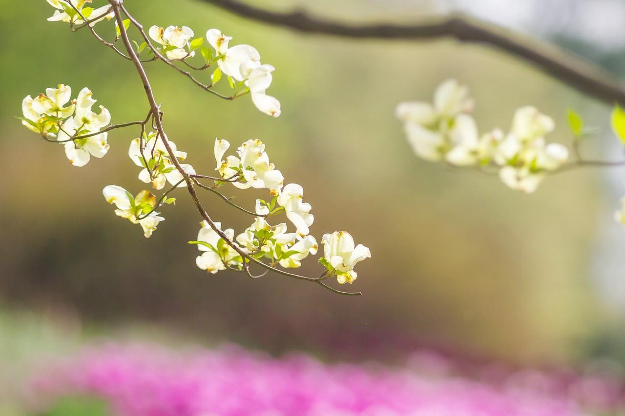 四照花,红白双争艳_图1-14