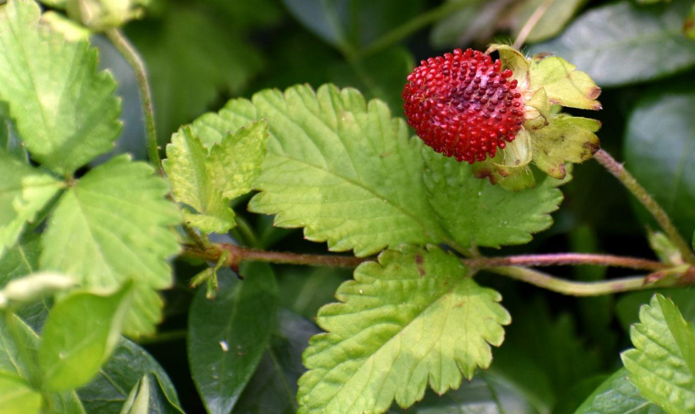 蛇莓_图1-25