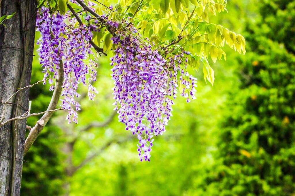紫藤花,沉迷的爱_图1-14