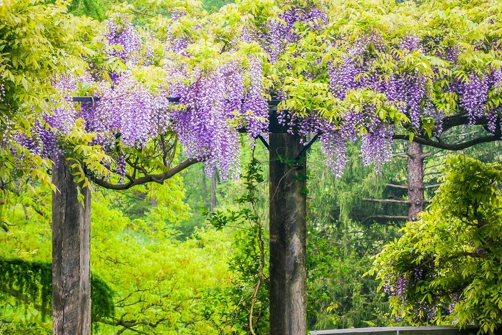 紫藤花,沉迷的爱_图1-15