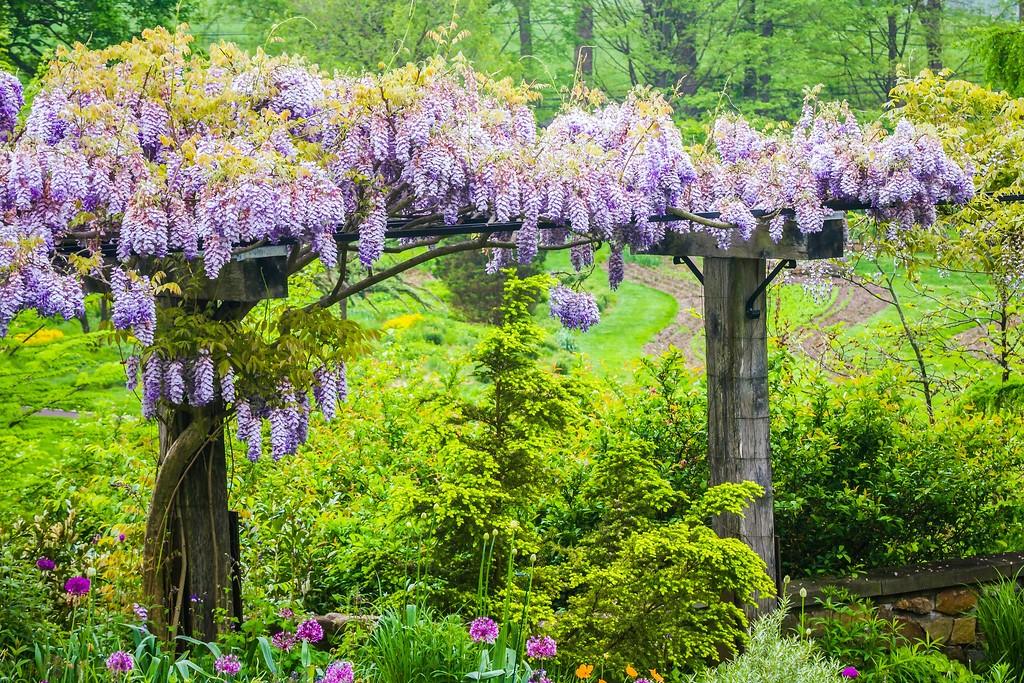 紫藤花,沉迷的爱_图1-13