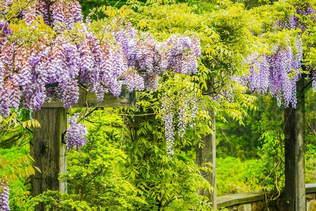 紫藤花,沉迷的爱_图1-12