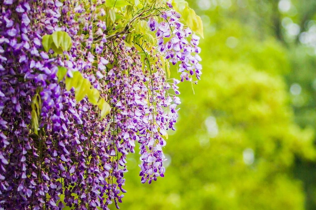 紫藤花,沉迷的爱_图1-11