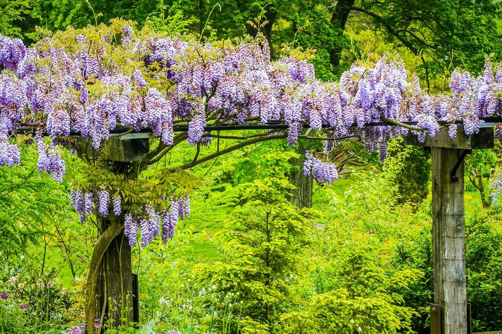 紫藤花,沉迷的爱_图1-9