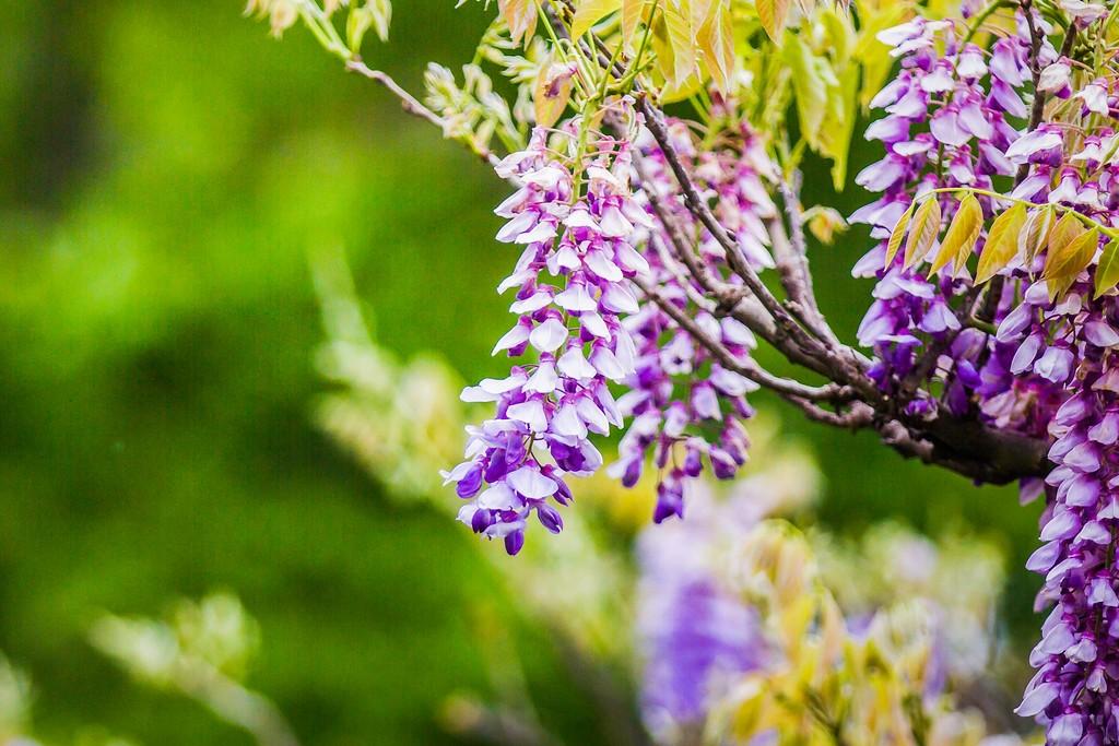 紫藤花,沉迷的爱_图1-10