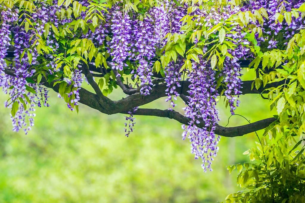 紫藤花,沉迷的爱_图1-16
