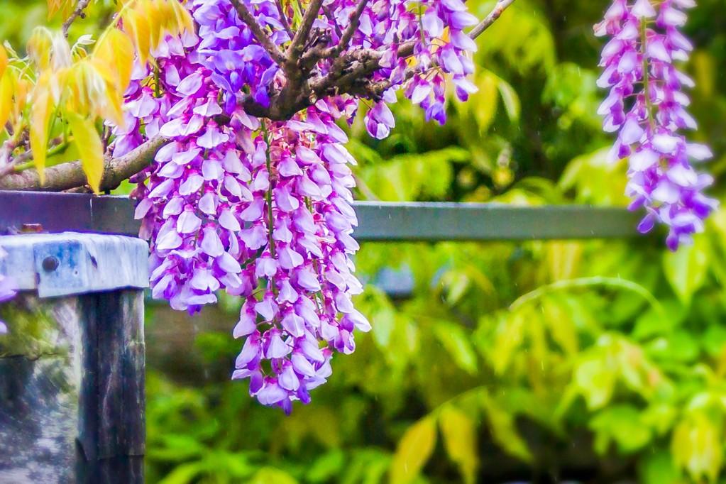 紫藤花,沉迷的爱_图1-5