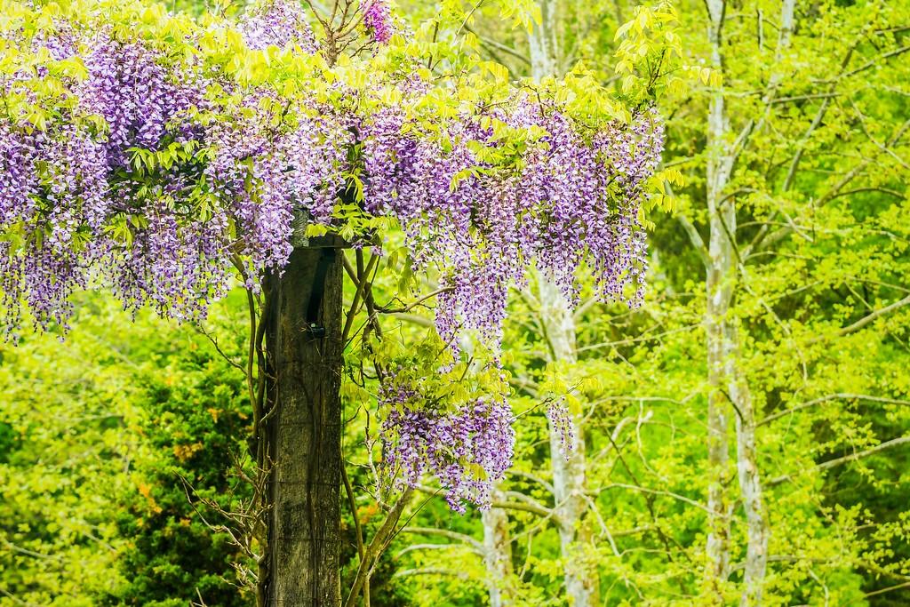 紫藤花,沉迷的爱_图1-6