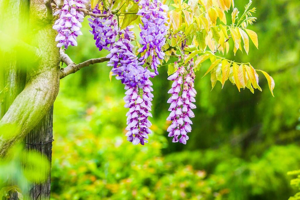 紫藤花,沉迷的爱_图1-8