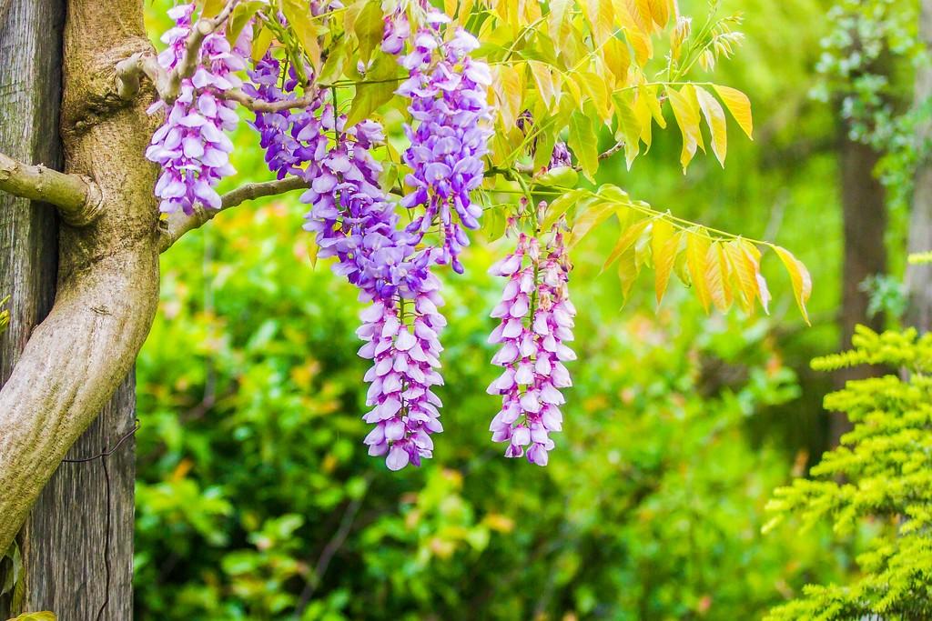 紫藤花,沉迷的爱_图1-4
