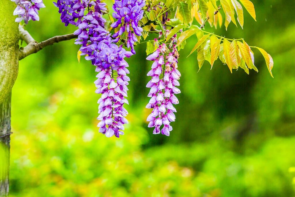 紫藤花,沉迷的爱_图1-1