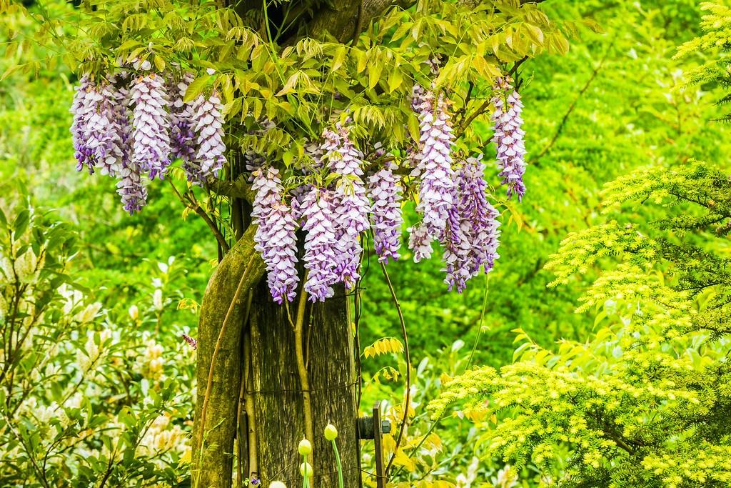 紫藤花,沉迷的爱_图1-2