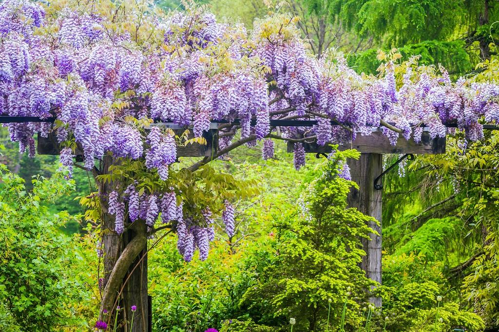 紫藤花,沉迷的爱_图1-3