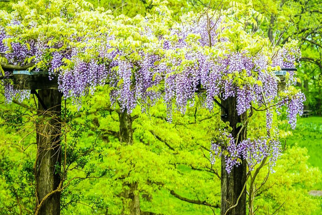 紫藤花,沉迷的爱_图1-17