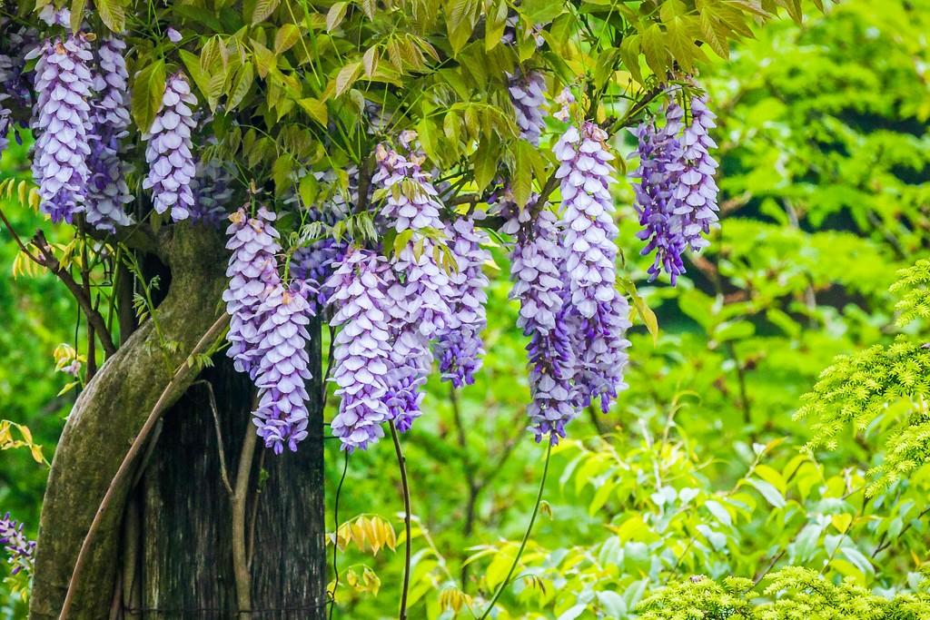 紫藤花,沉迷的爱_图1-18