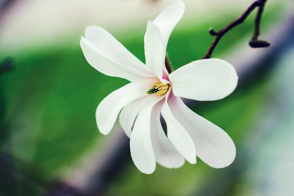 玉兰花,树尖上的芭蕾_图1-17