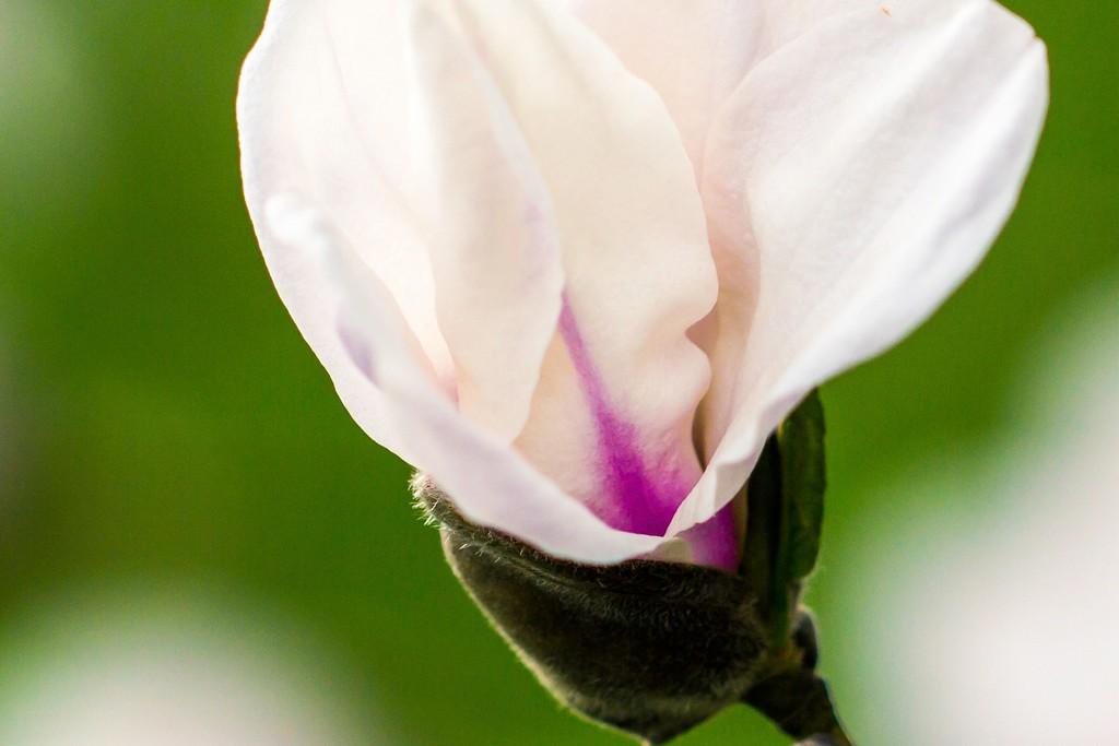 玉兰花,树尖上的芭蕾_图1-20