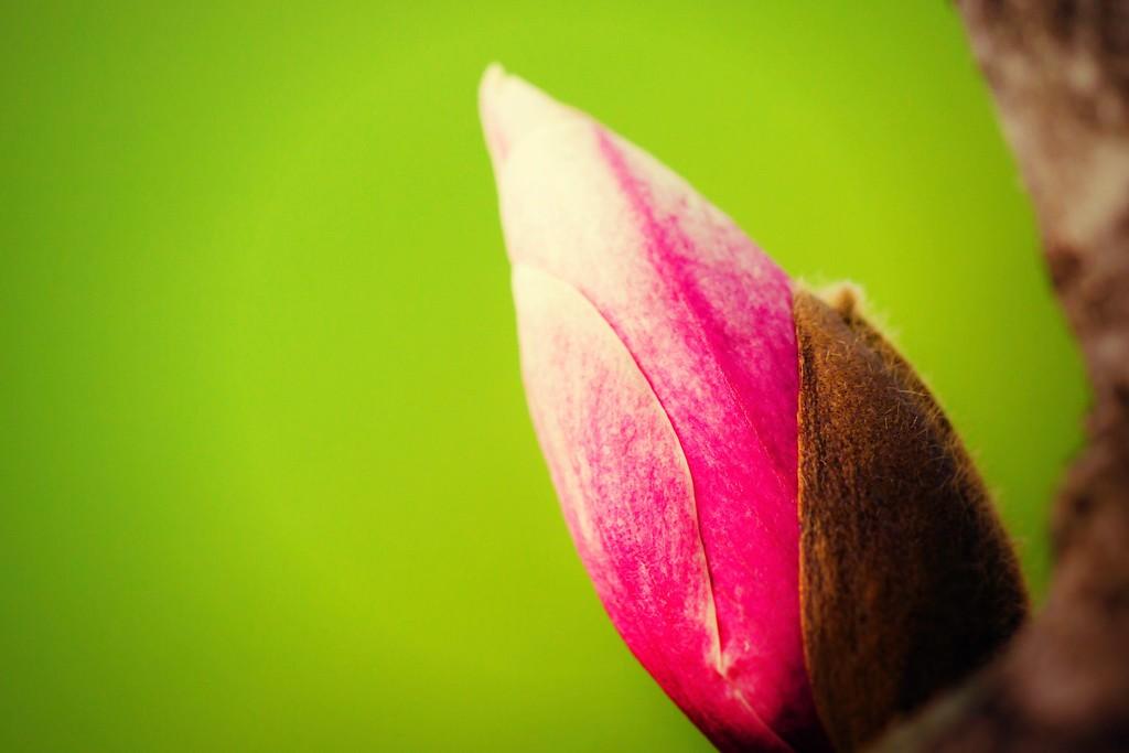 玉兰花,树尖上的芭蕾_图1-18