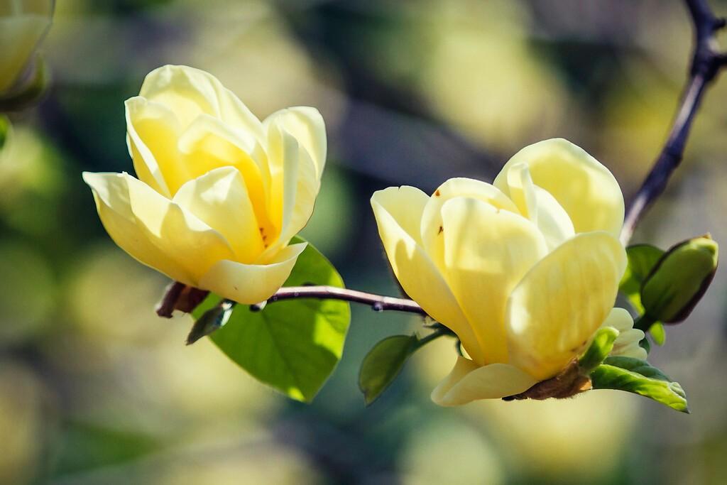 玉兰花,树尖上的芭蕾_图1-16