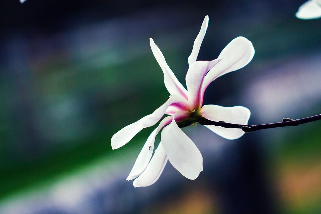 玉兰花,树尖上的芭蕾_图1-14
