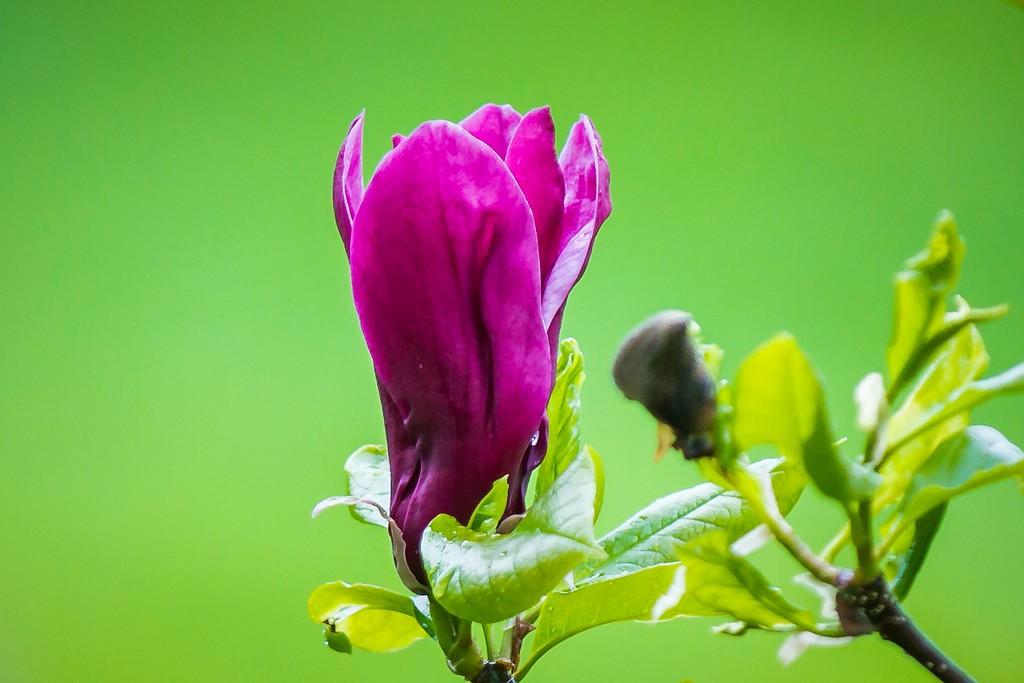 玉兰花,树尖上的芭蕾_图1-11