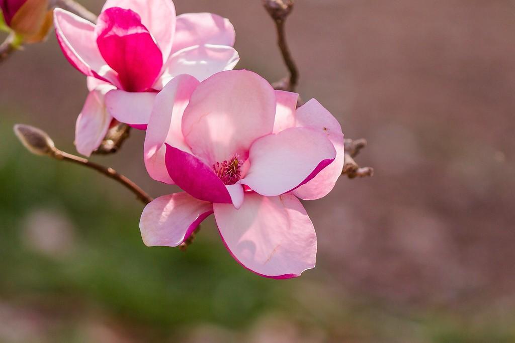 玉兰花,树尖上的芭蕾_图1-12