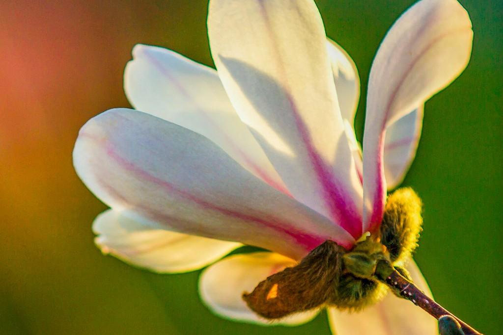 玉兰花,树尖上的芭蕾_图1-3