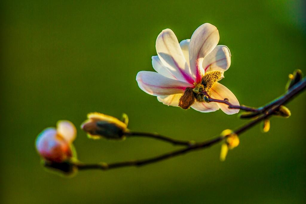 玉兰花,树尖上的芭蕾_图1-2