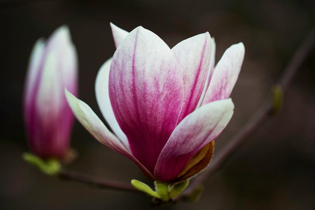 玉兰花,树尖上的芭蕾_图1-1