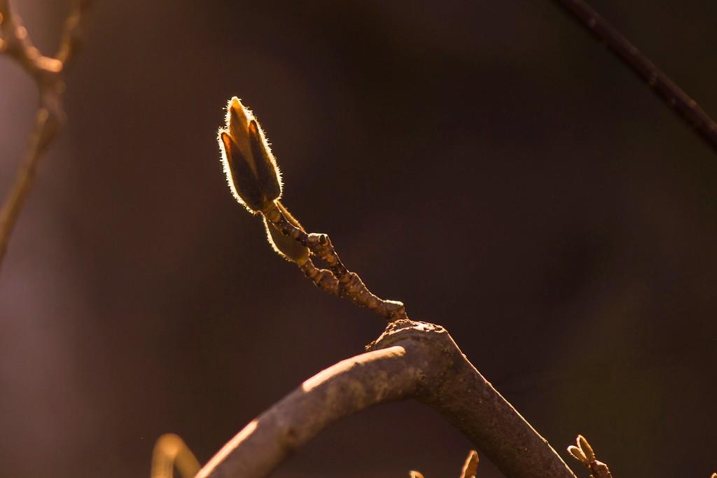 玉兰花,树尖上的芭蕾_图1-5