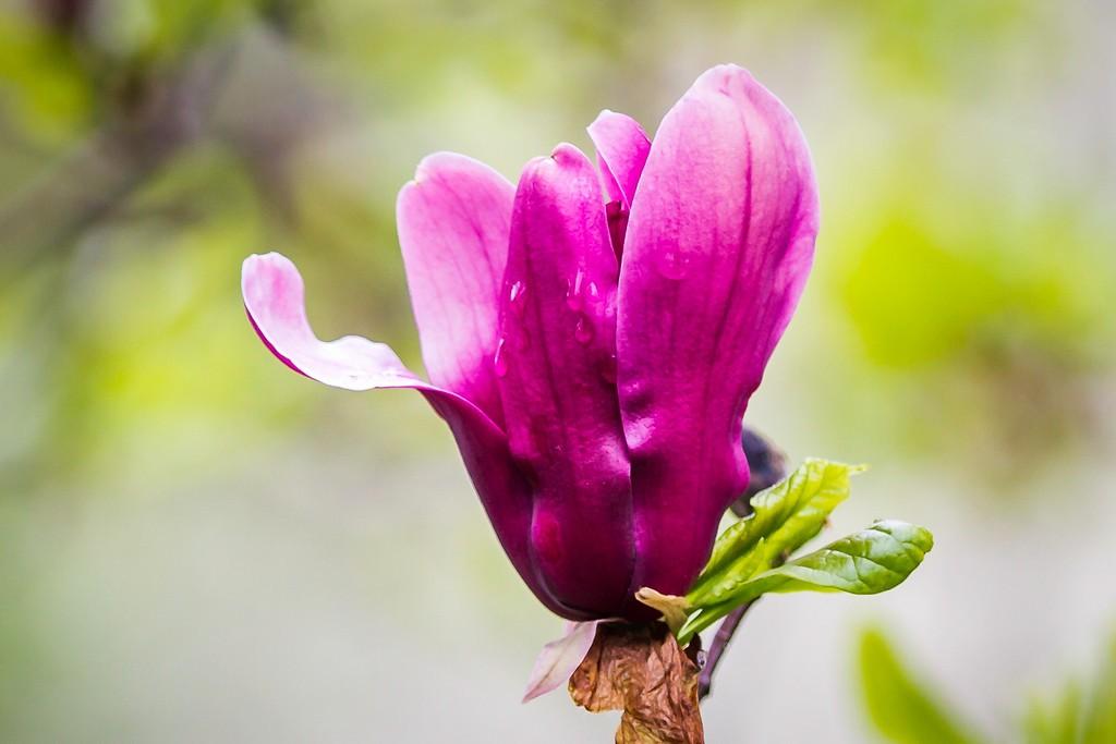 玉兰花,树尖上的芭蕾_图1-7