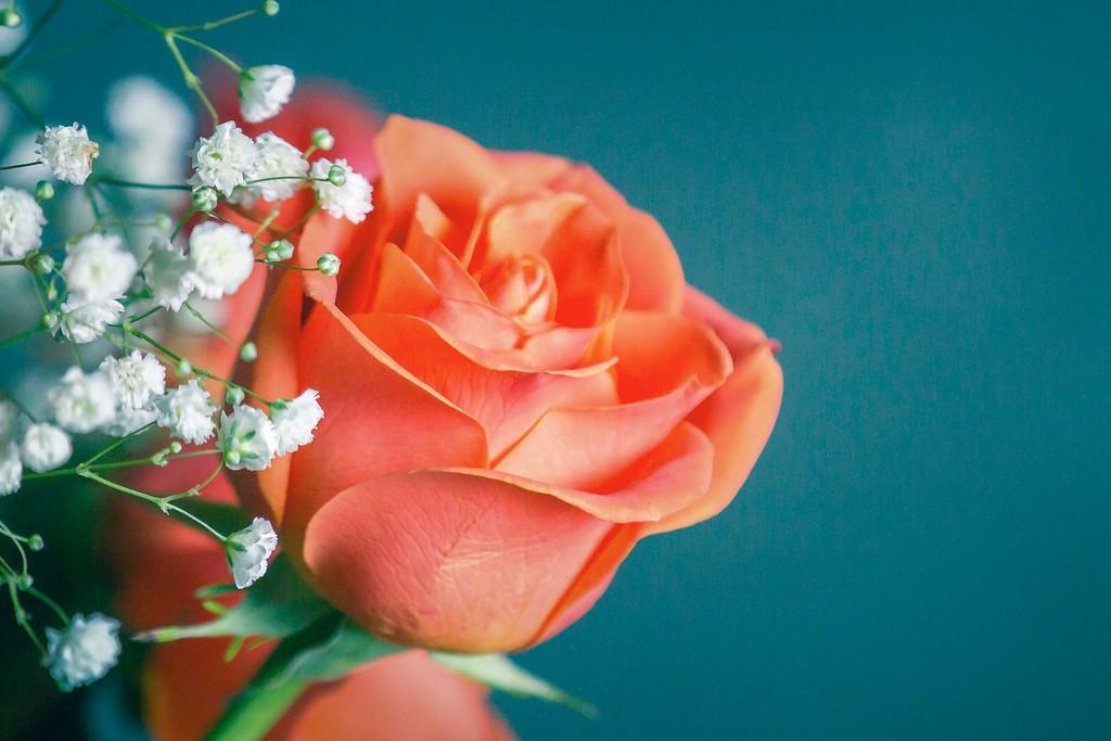 玫瑰花,一束表真情_图1-3