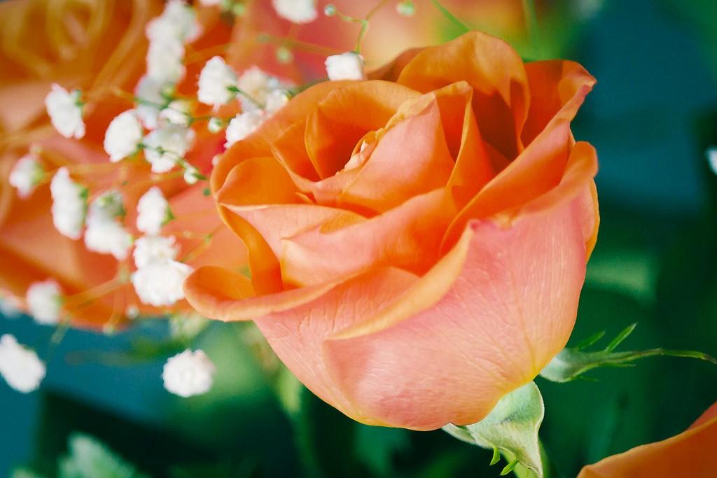 玫瑰花,一束表真情_图1-6