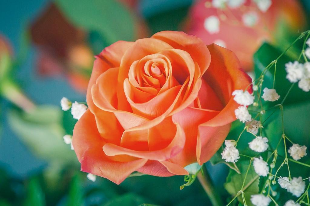 玫瑰花,一束表真情_图1-8