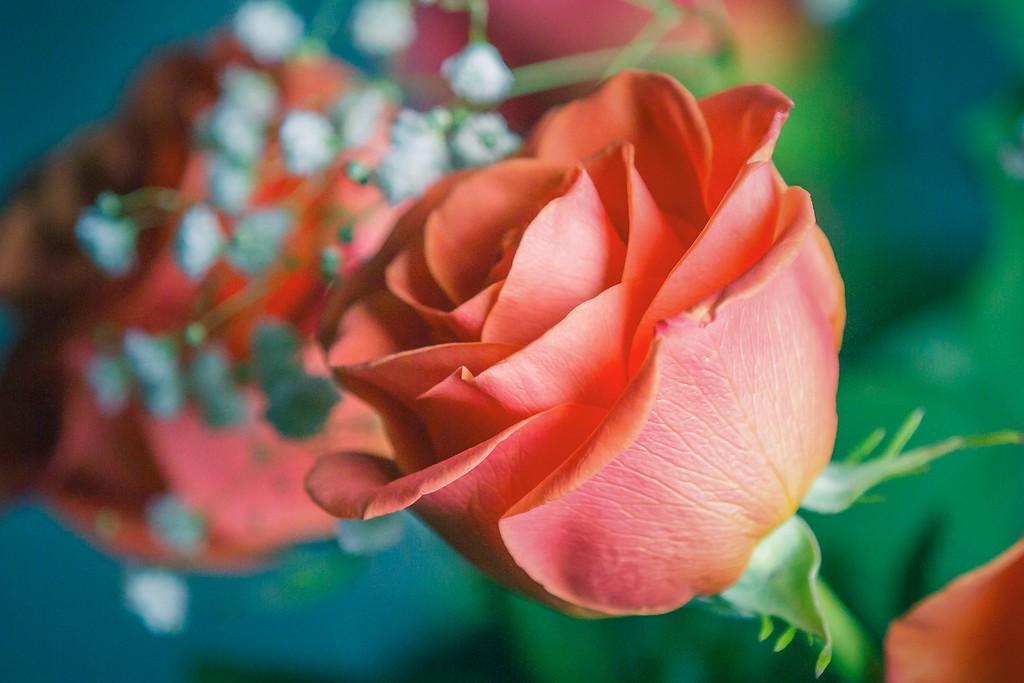 玫瑰花,一束表真情_图1-2