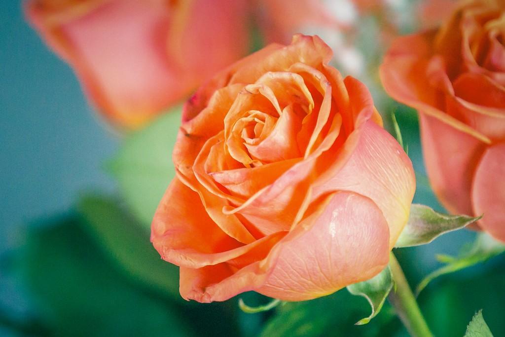 玫瑰花,一束表真情_图1-5