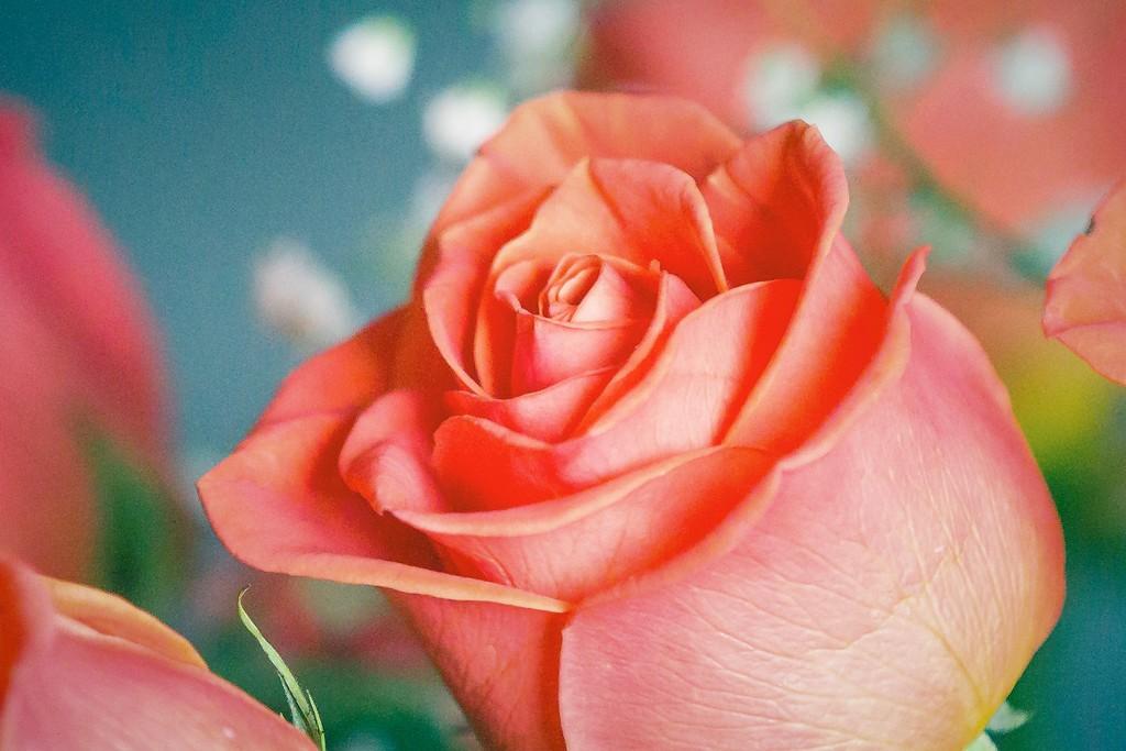 玫瑰花,一束表真情_图1-7