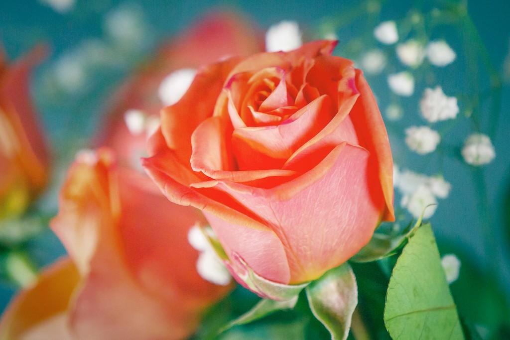 玫瑰花,一束表真情_图1-1