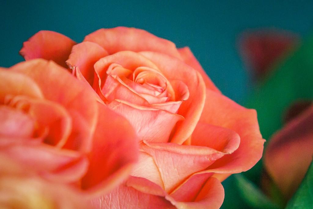 玫瑰花,一束表真情_图1-10