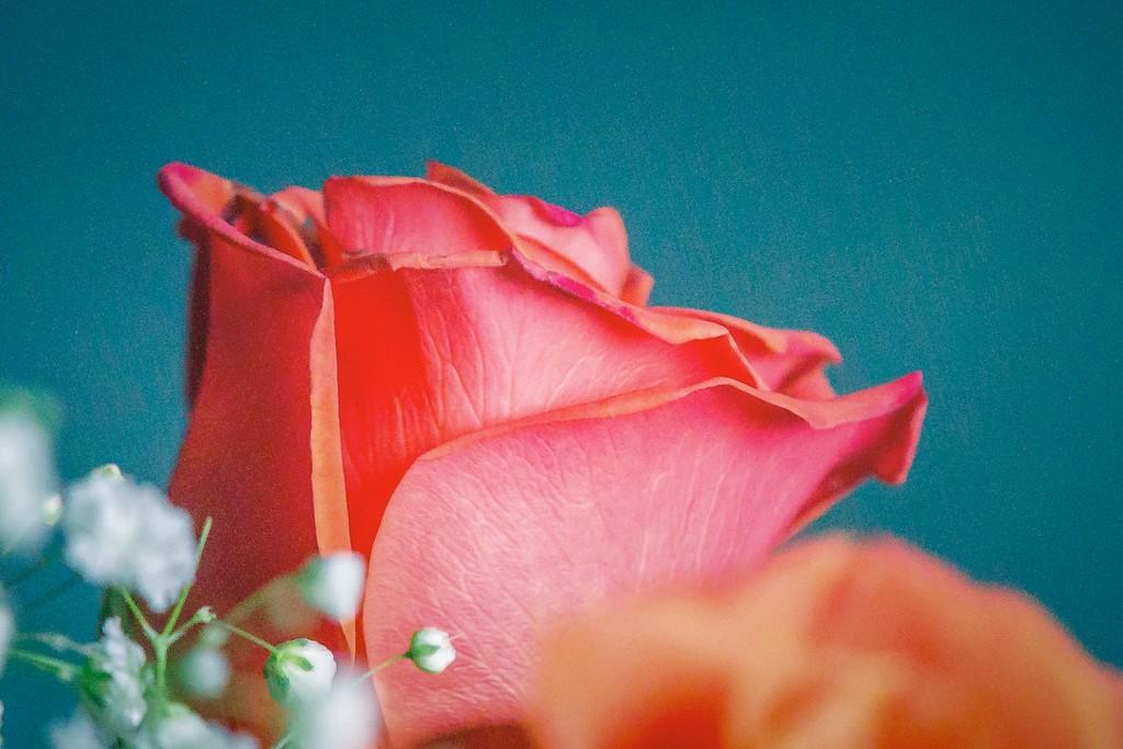 玫瑰花,一束表真情_图1-12