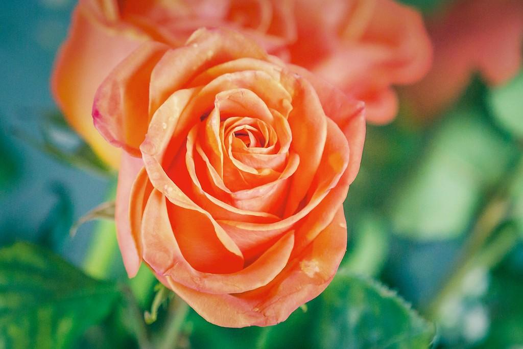 玫瑰花,一束表真情_图1-15