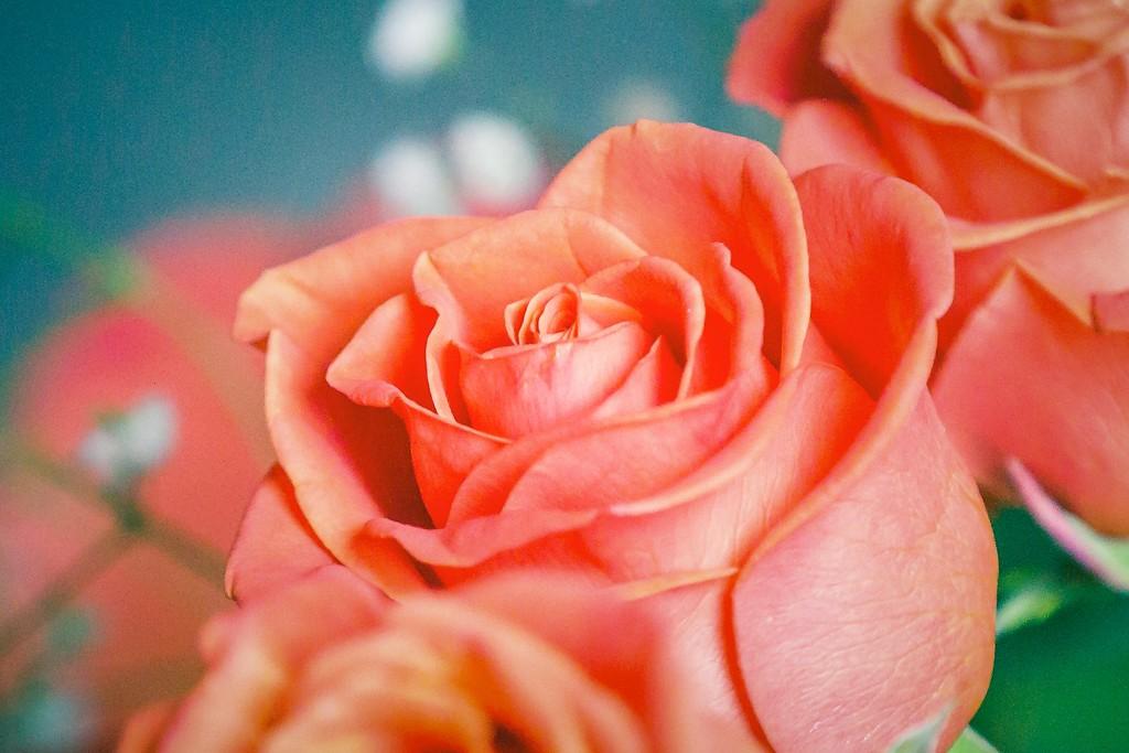 玫瑰花,一束表真情_图1-14