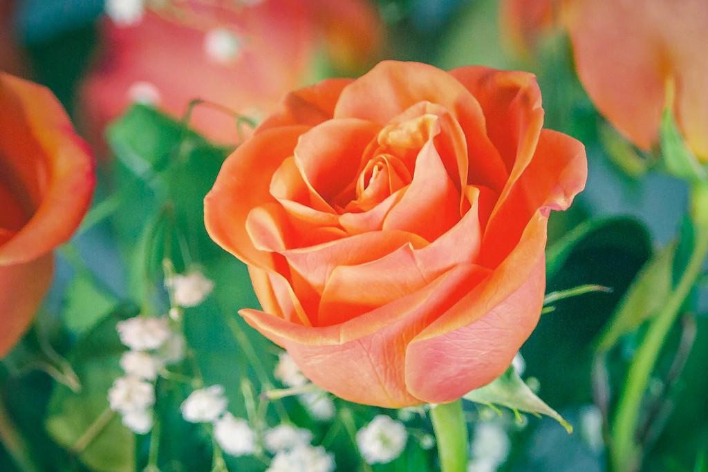 玫瑰花,一束表真情_图1-17