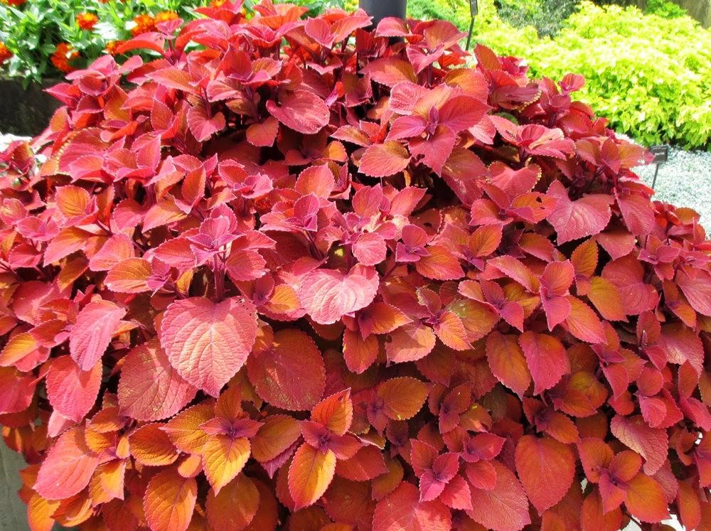 植物园的锦紫苏_图1-8