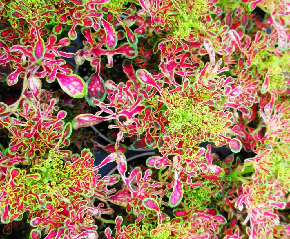 植物园的锦紫苏_图1-15
