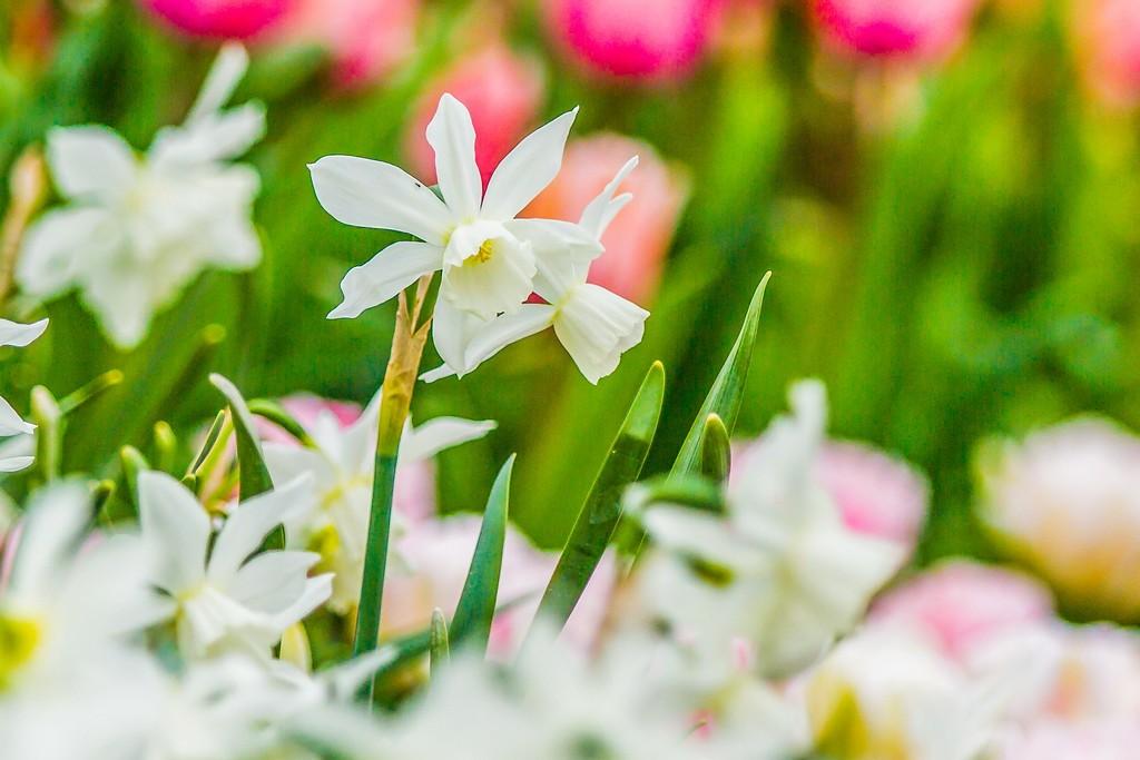 水仙花,清秀优雅_图1-5
