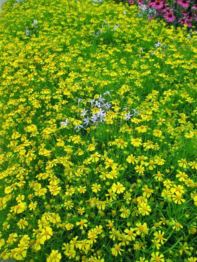 扶轮植物园之---堆心菊_图1-13