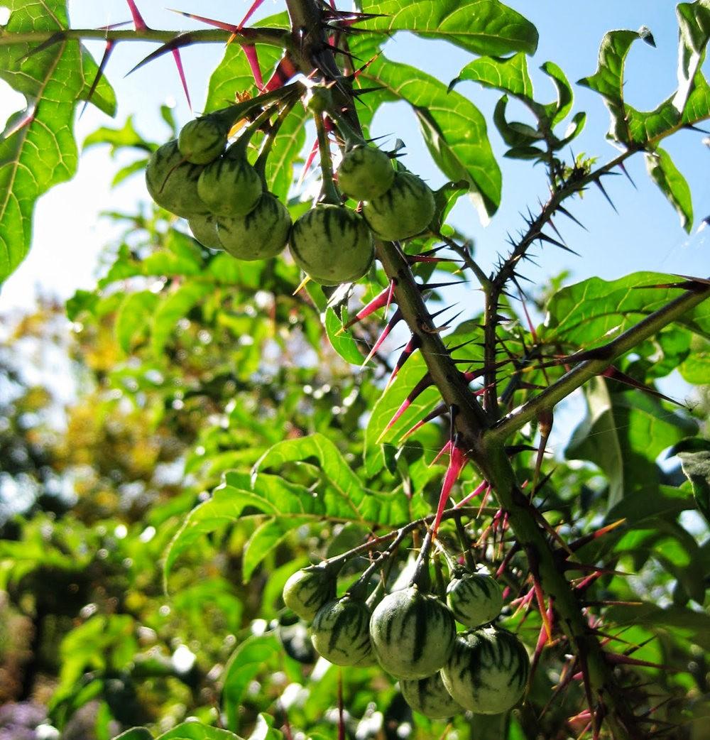 豪猪番茄---神奇的植物_图1-2